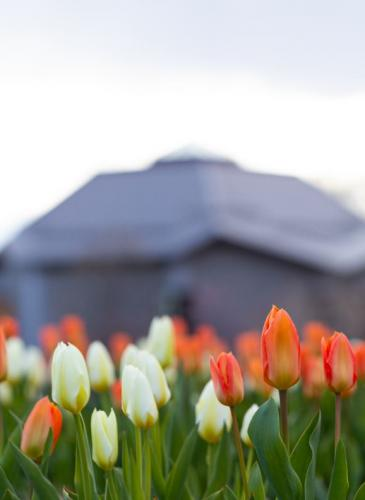Orange and white tulips in front of the main building