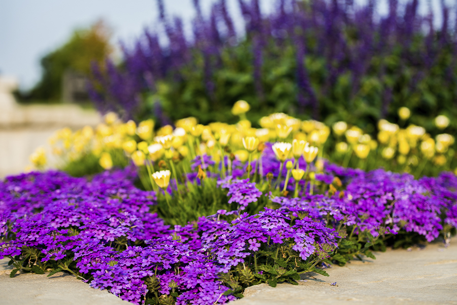 Picture of yellow and purple flowers